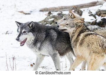 wölfe, tundra