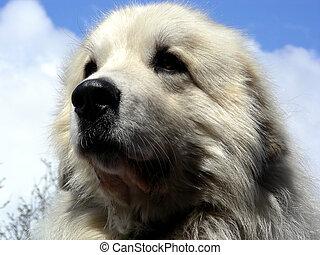 würdig, groß, hund