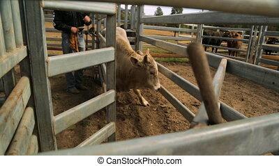 wąski, krowa, przestrzeń, zdobywać, wypraktykowując