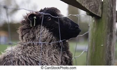 węzeł, sheep, skwer, jego, poza, czarnoskóry, pod, deska, wtykając, płot, drewno, pysk