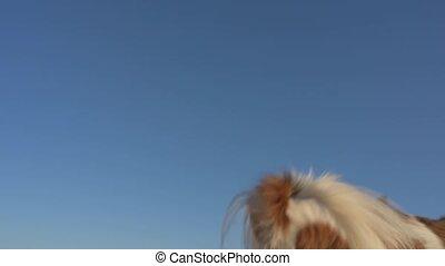 właściciel, trening, chihuahua, lazur, powolny, przelotny, skokowy, uchwyt, pies, powrót, frisbee, dysk, tło, ruch, mały, żółty