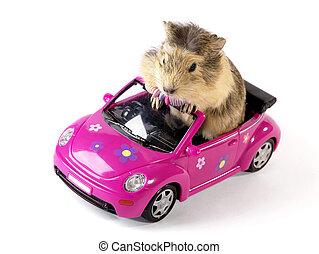 włochaty, driver., wieprz gwinei, w, przedimek określony przed rzeczownikami, zabawny, różowy, wóz., nie, odizolowany, wizerunek