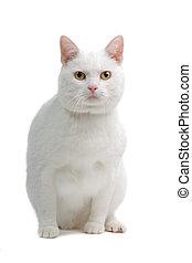włosy, biały, krótki, brytyjski, kot