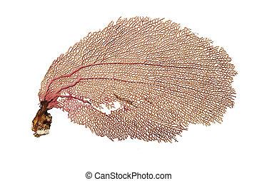 waaier koraal