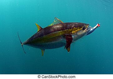 wabik, fish, usta, tuńczyk, jego, yellowfin