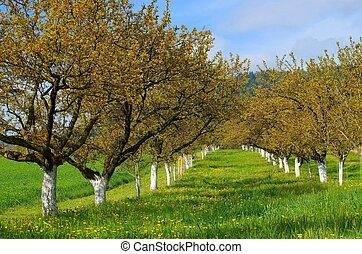 wachau, albaricoque, árboles