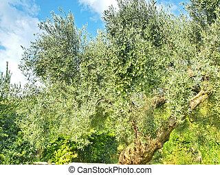 wachsen, olive, uralt, baum, griechenland