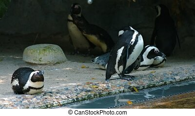 Small waddle of seven African penguins,  congregating at the waters edge in their habitat enclosure at a public zoo. Video UltraHD
