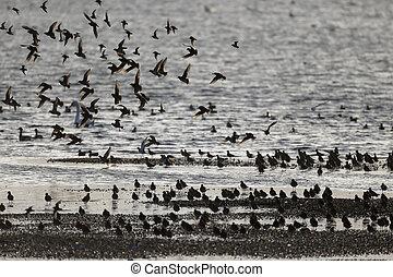 Wader, Mixed flock, Kent, March 2014