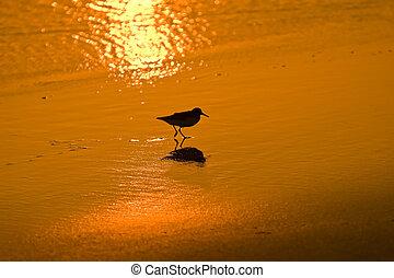 a little wading bird walking on a beach at sunset