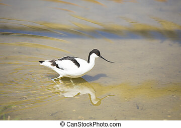 Wading bird, Avocet - close up of a wading avocet