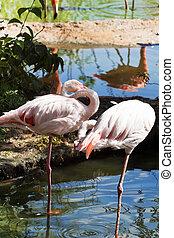 wading bird - flamingo - couple of Greater Flamingo outdoors