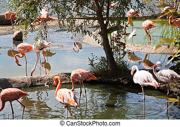 wading bird - flamingo - many American Flamingo and Greater...