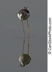 Wading bird reflected in water