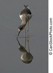 Wading bird reflection in water