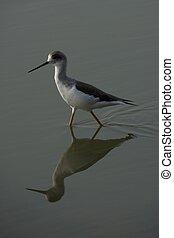 Wading bird walking in water