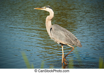 Wading Great Blue Heron - A great blue heron wades in the...