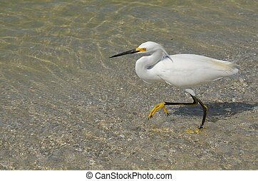 Wading Great Egret in Florida