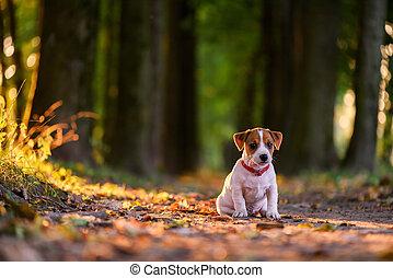 wagenheber, russel, junger hund, auf, herbst, gasse
