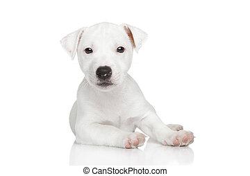 wagenheber, russel, junger hund, posierend