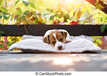wagenheber, russel, terrier, auf, herbst, terrasse
