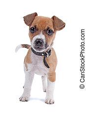 wagenheber, russel, terrier, junger hund, anschauen kamera, freigestellt, auf, a, weißer hintergrund