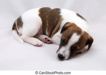 wagenheber, russel, terrier, junger hund, aus, weißer hintergrund