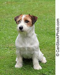 wagenheber, russel, terrier, junger hund