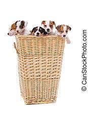 wagenheber, russel, terrier