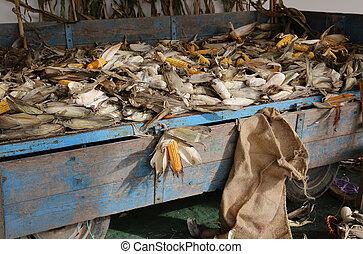 wagon of farmer with of yellow ripe corns