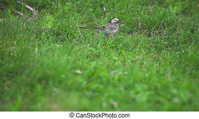 Wagtail bird looks for insects