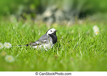 Wagtail bird on a green lawn in the spring