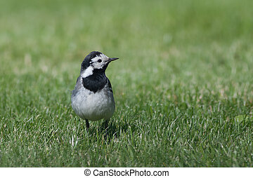 Wagtail in a field