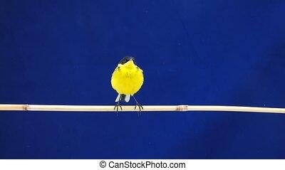 wagtail (Motacilla feldegg) isolated on a blue background in...
