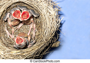 wagtail nest with hatchlings with 5 days nold - wagtail nest...