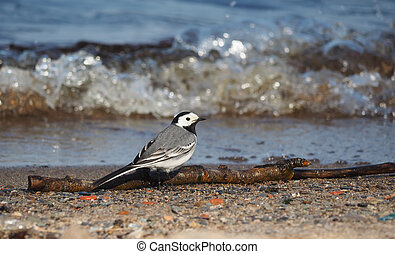 wagtail on the lake