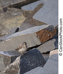 Wagtail on the rocks