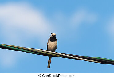 wagtail on the wire. summer
