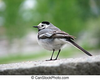 Wagtail - Profile of the white wagtail in city park.
