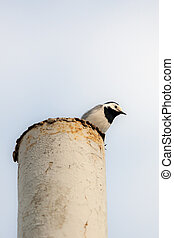 wagtail sits on the top