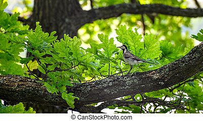 Wagtail sitting on a tree branch