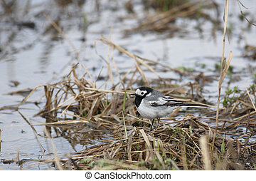 Wagtail - The wagtail sits on coast of the river