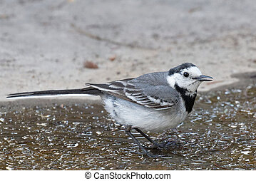wagtail - Wagtail looking for food