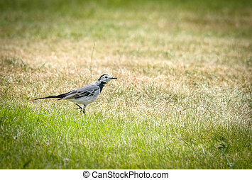 Wagtail walking on green grass