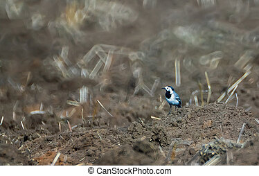 Wagtail walking on the ground