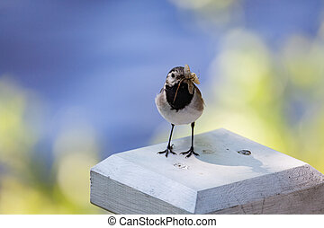 Wagtail with insects in beak
