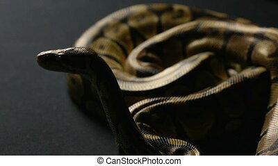 Waiting ball python in shadow - Footage of royal ball python...