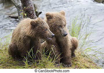 Waiting for fish - Katmai Brown Bear yearlings waiting for...