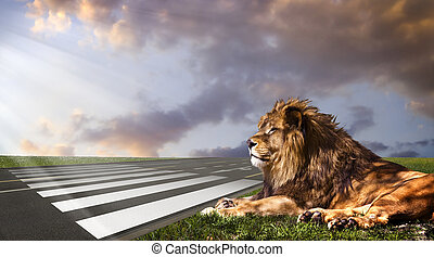 Waiting for his opportunity, waiting for the zebra