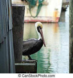 Waiting Pelican - Pelican near fishery in Galveston Bay, ...